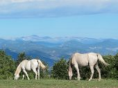 picture of workhorses  - Two white horses graze outside Castle Rock - JPG
