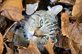 Cute Highland Lynx Cat in Leaves