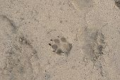 Dog Paw Print in the Sand