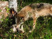 Grey Wolf (canis Lupus) Rolls Pup