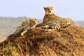 stock photo of cheetah  - A cheetah  - JPG