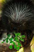 Baby Porcupine (erethizon Dorsatum) With Leaves