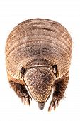 picture of armadillo  - a stuffed armadillo isolated over a white background - JPG