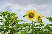 Helianthus Or Sunflower