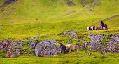A group of Icelandic Ponies on a hillside