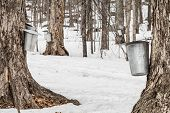 Forest Of Maple Sap Buckets On Trees