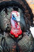 picture of gobbler  - Wild Turkey Closeup of front in nature and daylight