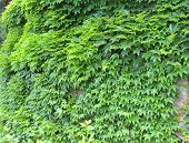 Ivy green.