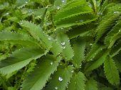 Drops And Leaf