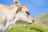 image of moo-cow  - Brown cow through the Catalan Pyrenees Spain - JPG