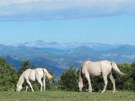 picture of workhorses  - Two white horses graze outside Castle Rock - JPG