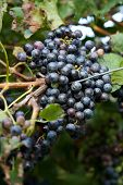 picture of vines  - Red Wine Grapes on a vine vines on Lake Garda in Italy - JPG