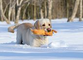 Yellow Labrador In Winter With A Toy Close Up