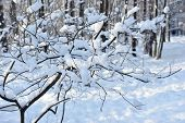 Snow On Branches Of Tree