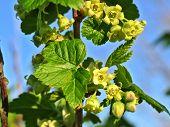 Flowering Currant In Springtime
