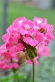 picture of geranium  - bright pink cluster of geranium flower blossoms - JPG