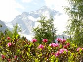 Rhododendrons and mountain glaciers as background image