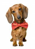 Dog Dressed Bow Tie, Portrait Of Dackel With Bow-tie, Animal Clothes Wearing