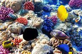 image of shoal fish  - Coral and fish in the Red Sea - JPG