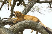 Lioness Resting On A Tree