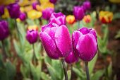 Purple Tulips Closeup