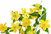 image of cruciferous  - Bouquet Marsh Marigold Yellow wildflowers in vase isolated on white background  - JPG