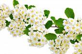 stock photo of meadowsweet  - Beautiful white flowering shrub Spirea aguta  - JPG