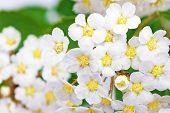 image of meadowsweet  - Beautiful white flowering shrub Spirea aguta (Brides wreath). ** Note: Shallow depth of field - JPG