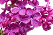 pic of lilac bush  - Beautiful Lilac in the Vase - JPG