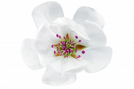 picture of japanese magnolia  - Single flower of magnolia - JPG