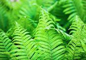 foto of fern  - Bright fresh green fern leaves - JPG