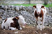 image of calves  - calves cow in rearing livestock of farm apulia - JPG