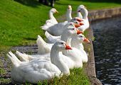 Gaggle of white geese lined up.