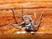 pic of poison  - Poison spider with stone background in nature - JPG