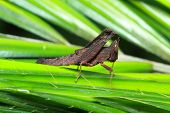 picture of leaf insect  - insect on leaf Grasshopper perching on a leaf - JPG