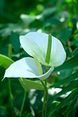 stock photo of calla  - White calla lillies in garden on green background - JPG