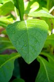 image of tobacco leaf  - Large morning dew drops covering the large leaf of a tobacco plant as the sun rises illuminating the top of the plant - JPG