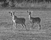 Buck In Velvet And Two Doe Bw