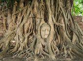 picture of gautama buddha  - Stone head of Buddha nestled in the embrace of bodhi tree - JPG