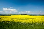 stock photo of rape  - Beautiful spring rural landscape with rape field and blue sky - JPG