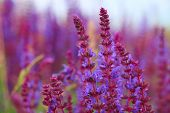 foto of purple sage  - Sage flowers - JPG