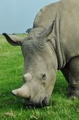 pic of rhino  - White rhino eating green grass on a paddock
