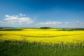 stock photo of rape-field  - Beautiful spring rural landscape with rape field and blue sky - JPG