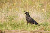 a juvenile of raven / Corvus corax