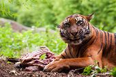 Sumatran Tiger Eating Its Prey