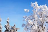 Trees covered in rime