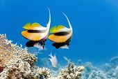 Bannerfish on the coral reef