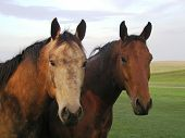 Horse Buddies In Pasture