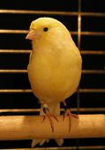 Yellow Canary In Cage