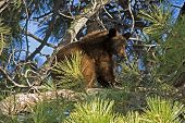 Black Bear Cub, Lake Tahoe